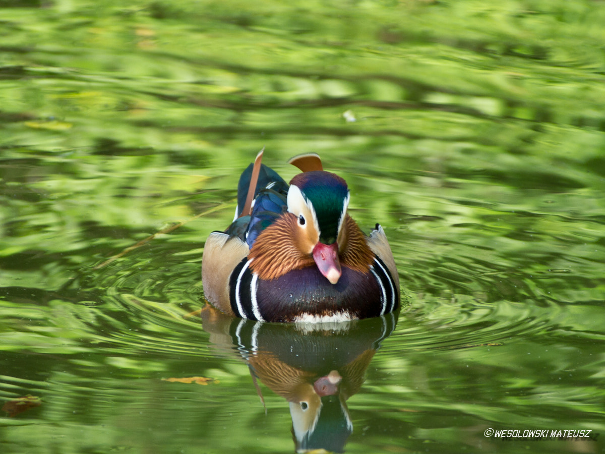 Photograph The Mandarin Duck II by Mateusz Wesolowski on 500px