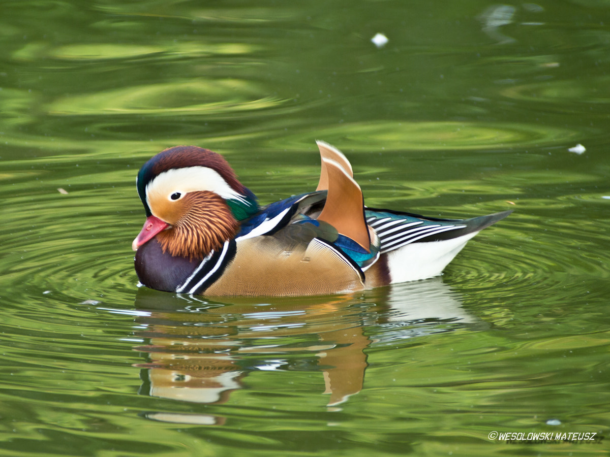 Photograph The Mandarin Duck by Mateusz Wesolowski on 500px