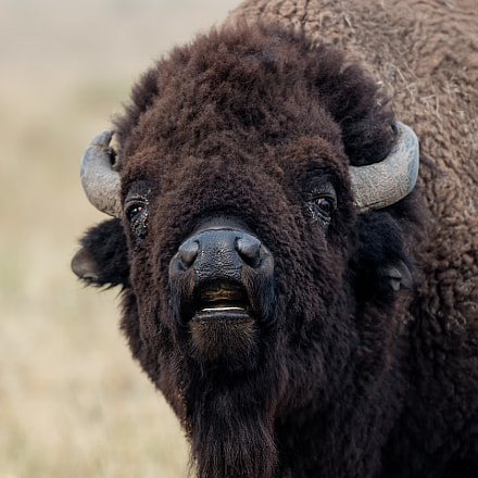 Bison Call, Canon EOS 5DS R, Canon EF 200-400mm f/4L IS USM