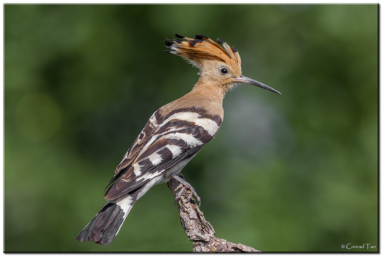 Photograph Hoopoe by Conrad Tan on 500px