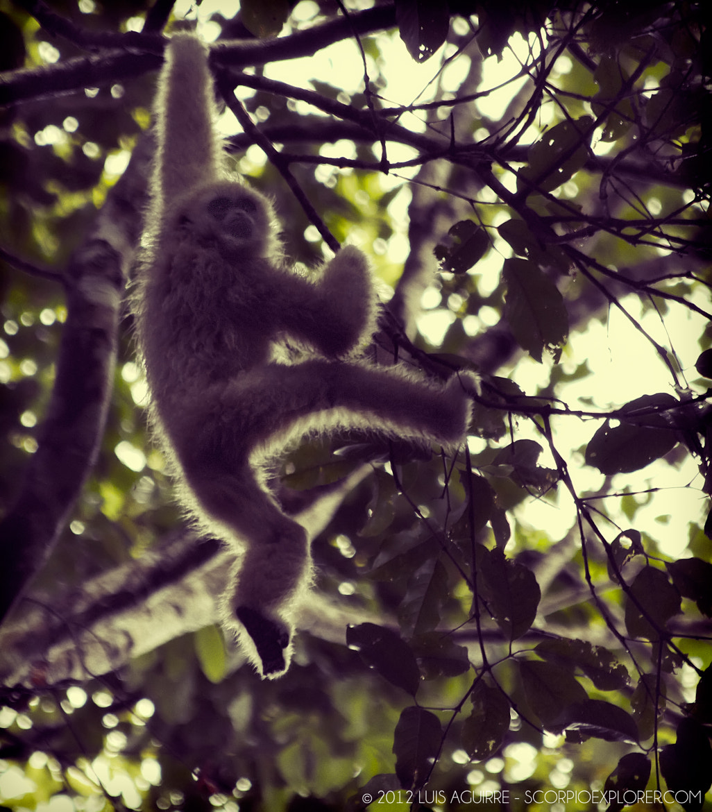 Photograph Gibbon by Luis Aguirre on 500px