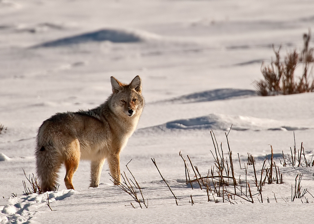 Photograph Lamar Valley Coyote  by Dave Williams on 500px