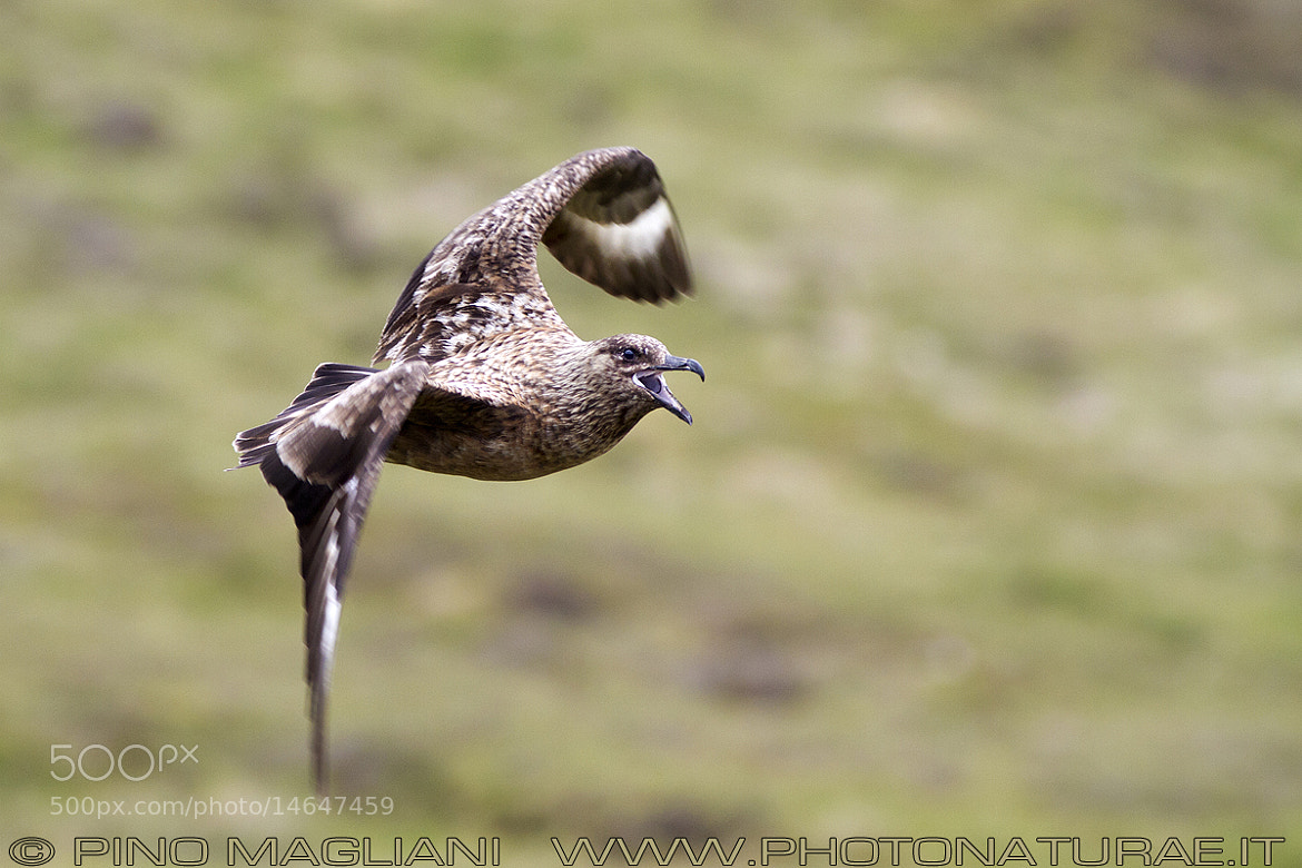Photograph Skua by Pino Magliani on 500px