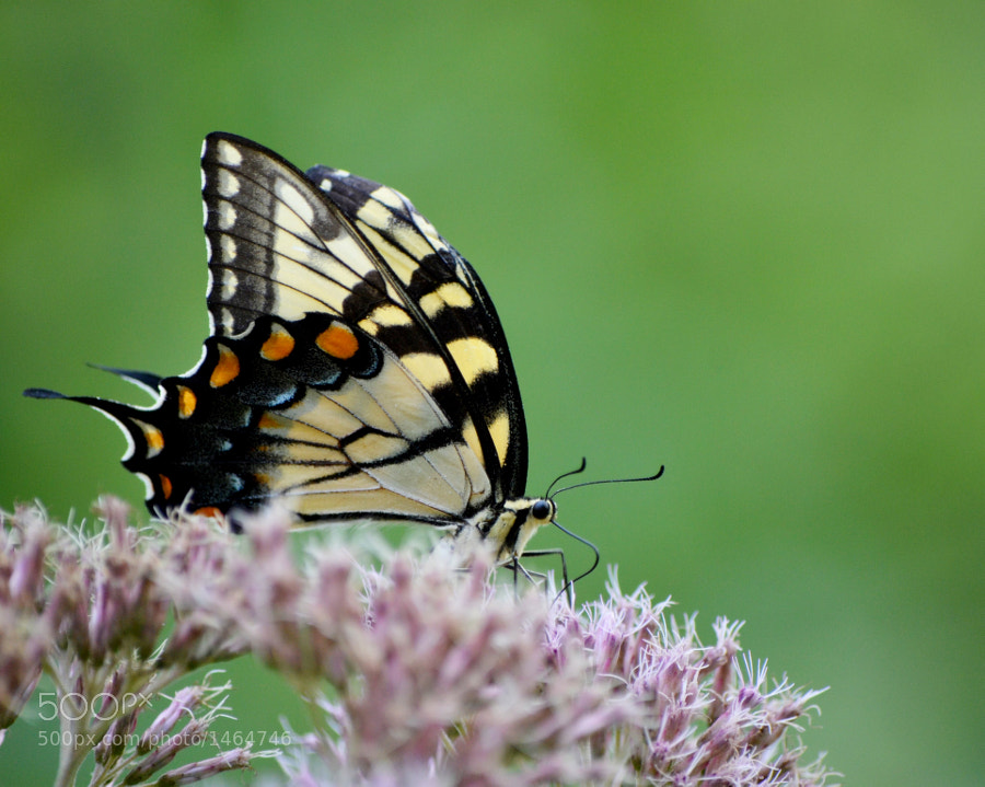 Tiger swallowtail on joe pye weed