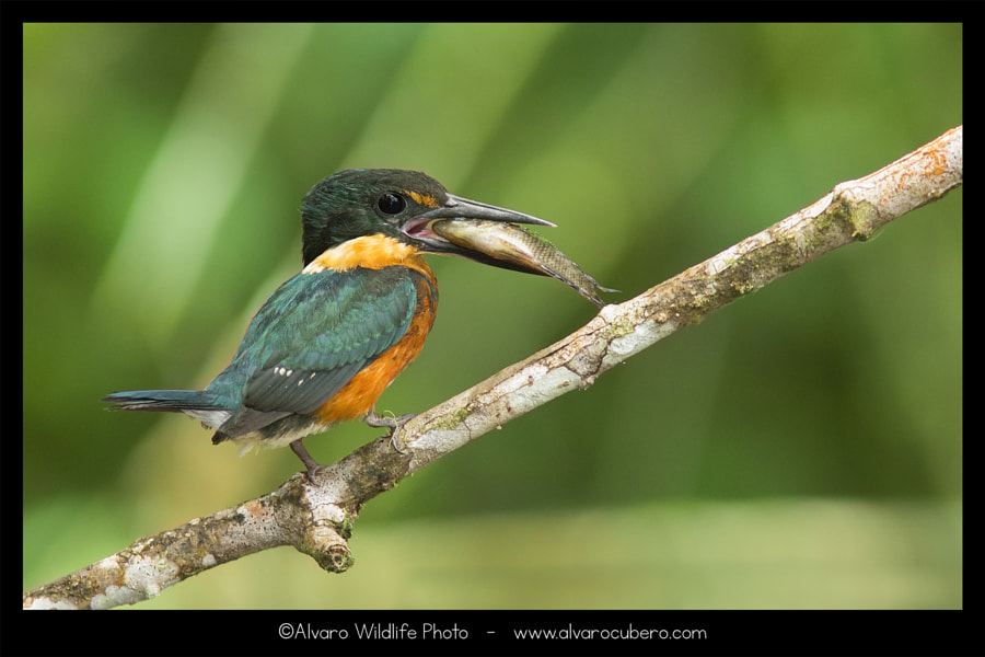 American Pygmy Kingfisher (The little one) de Álvaro Cubero Vega en 500px.com