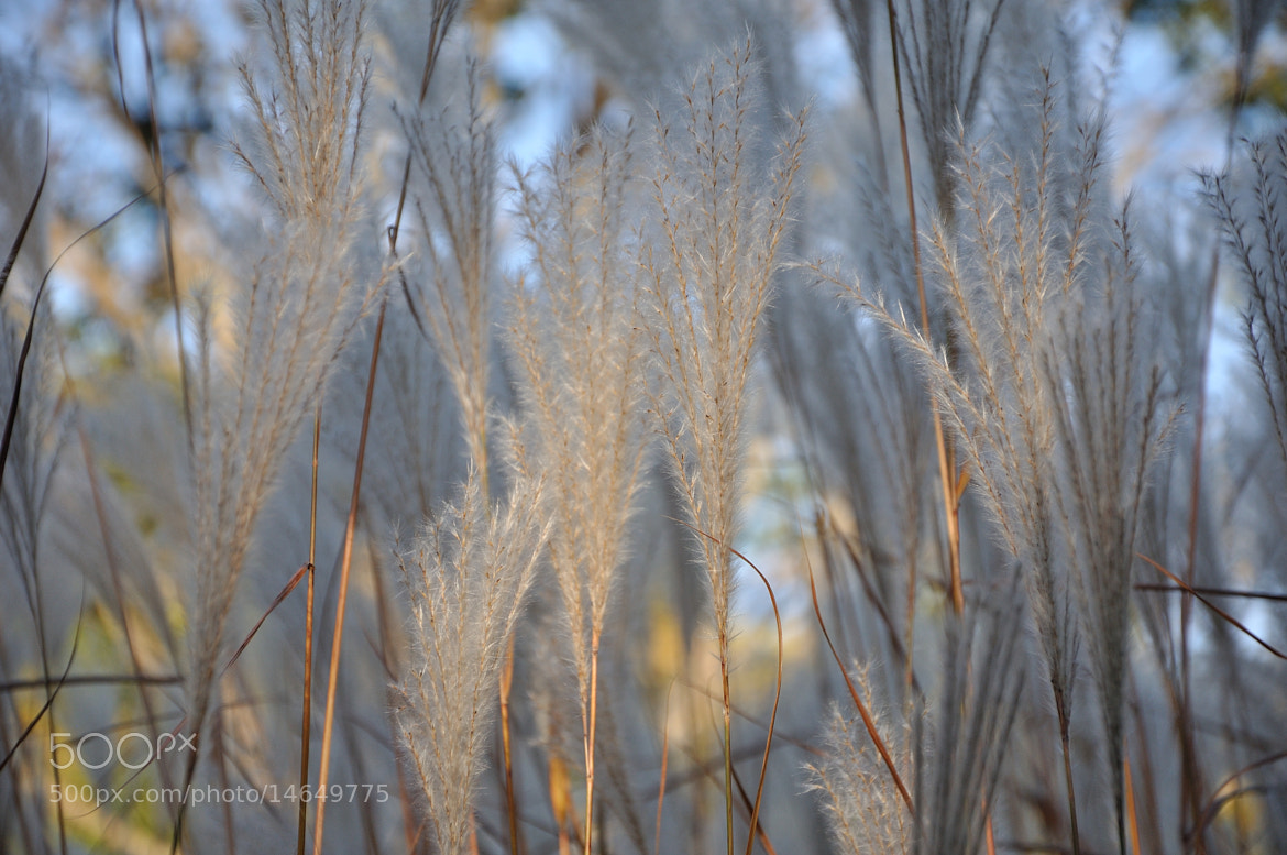 Photograph Pampas grass sunlit by Jutta Karin Schultz on 500px