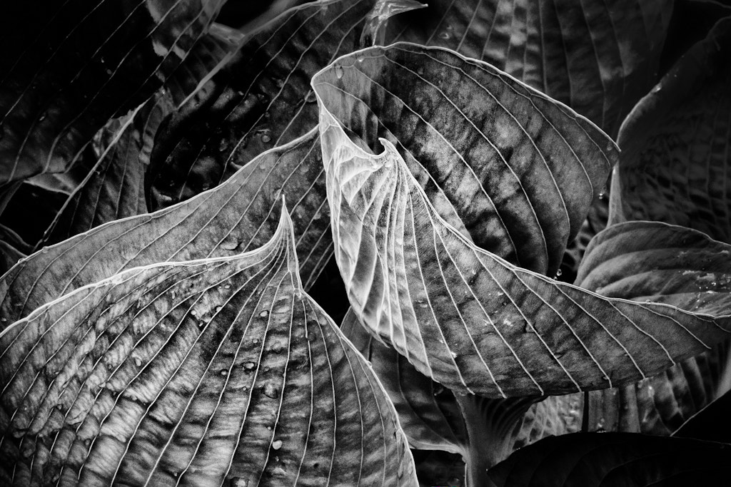 Photograph Hosta by Rob Smith on 500px