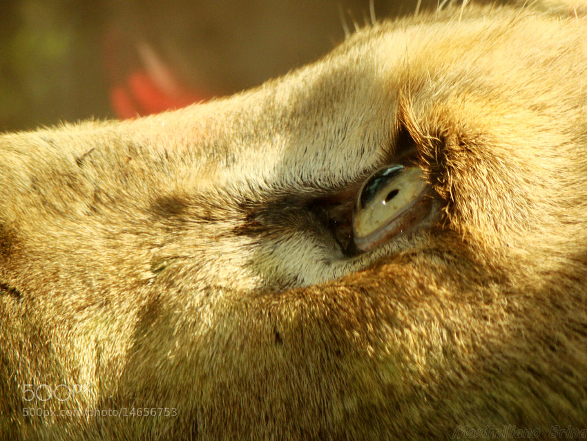 Photograph The eye of the... lion by Maximiliano Brina on 500px