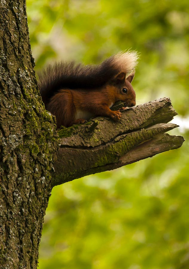 Photograph Red Squirrel by David Barnes on 500px