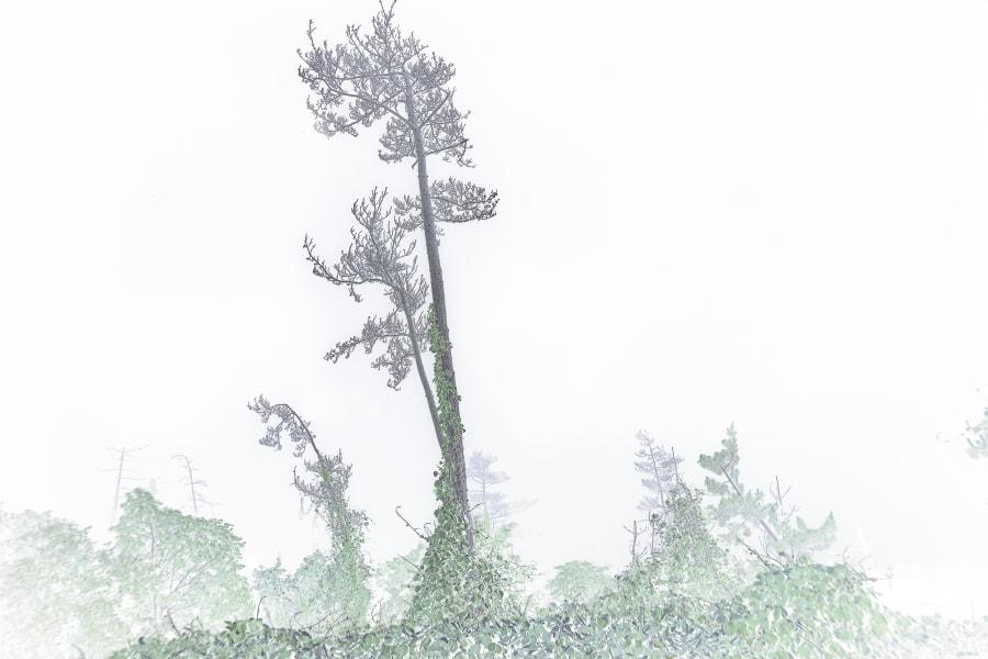 Dieback was pine