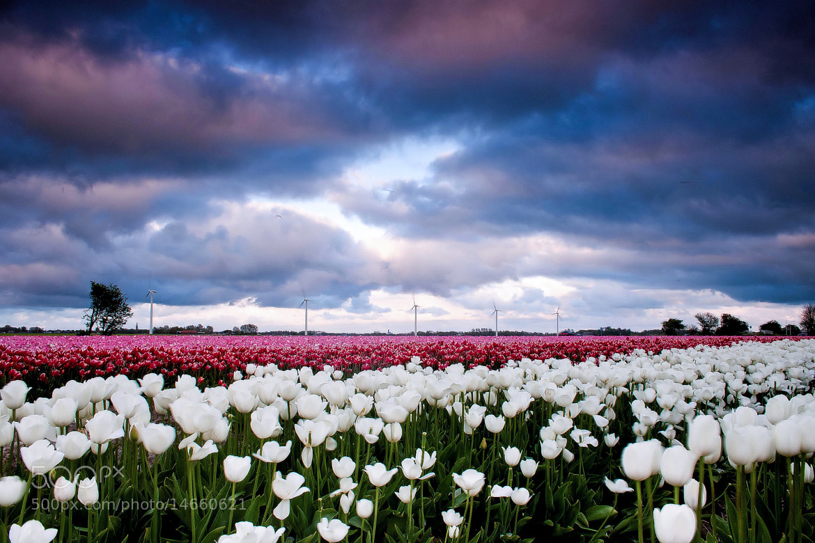 Photograph Tulip Wonderland by Jurjen Harmsma on 500px