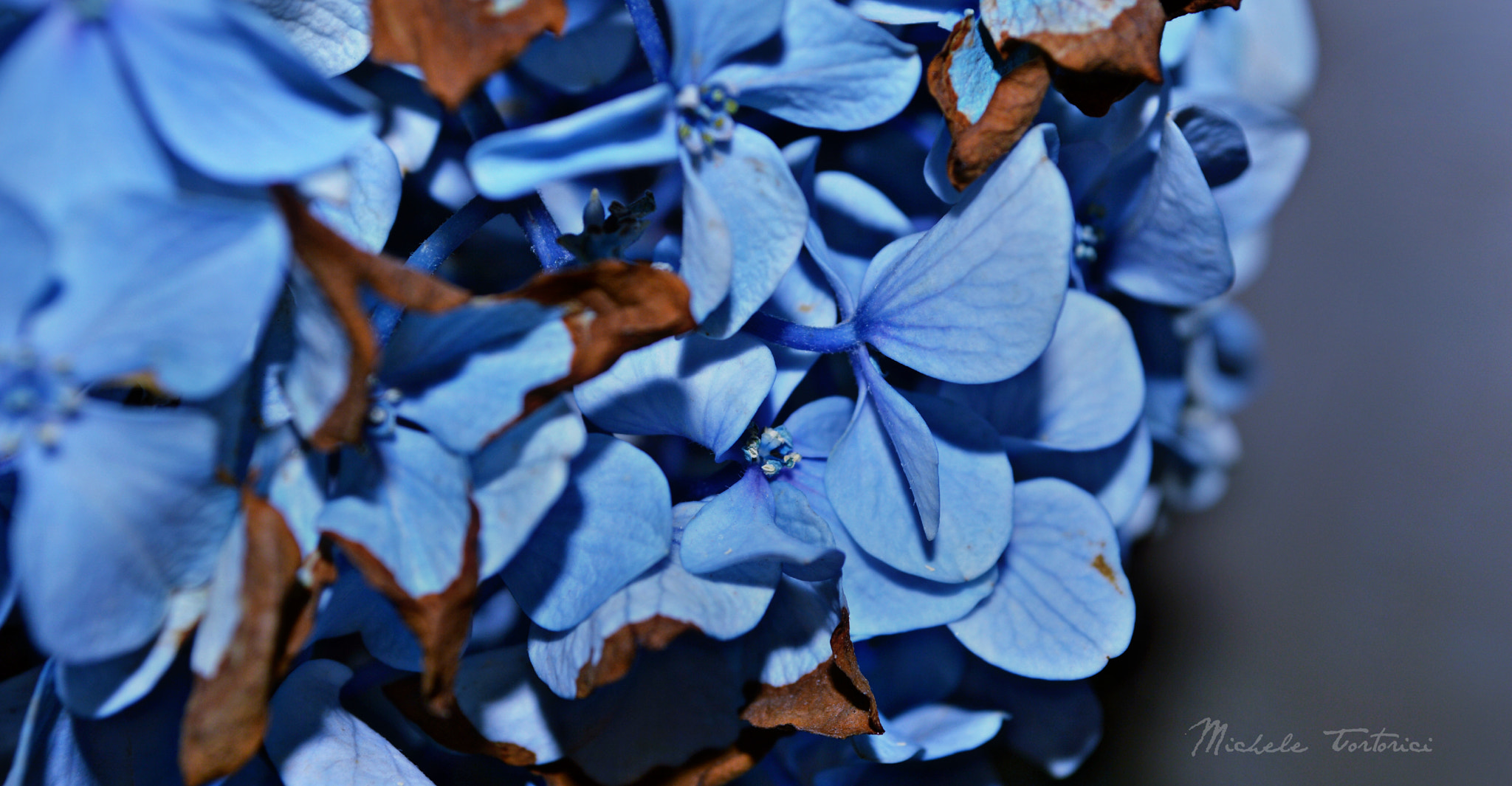 Photograph Hortensia by michele  tortorici on 500px
