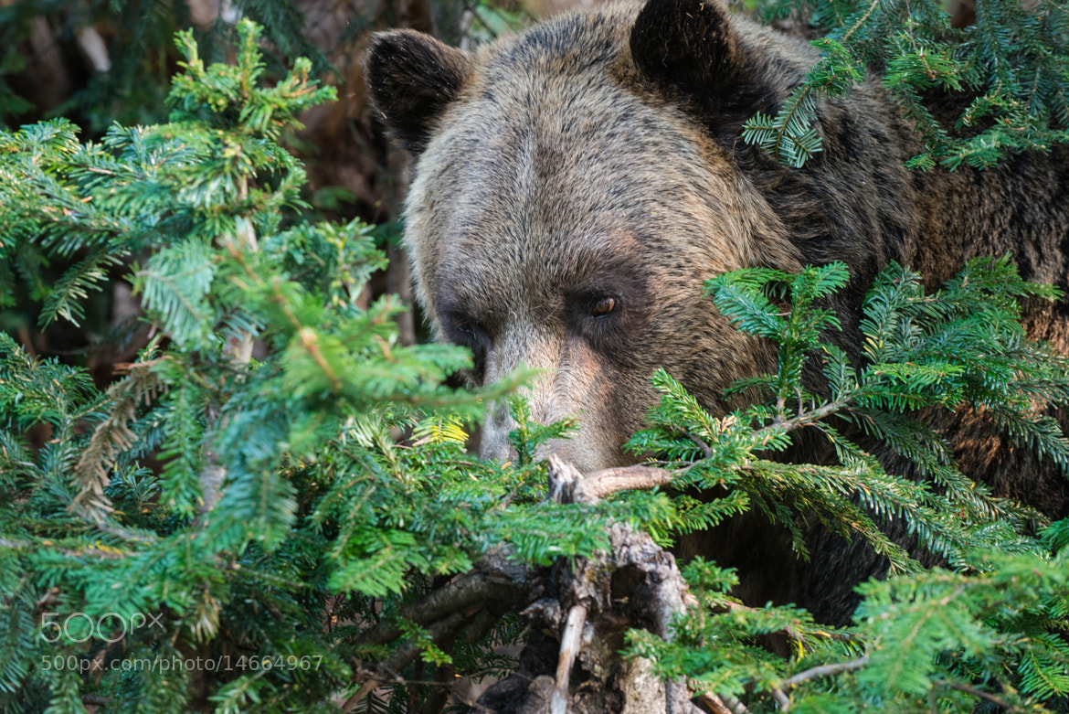 Photograph The grizzly is watching by Oleg Gutsol on 500px