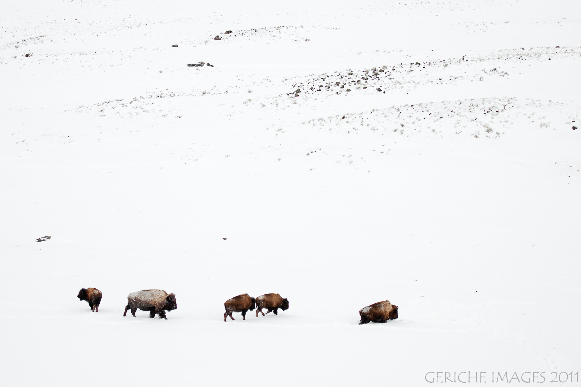 Photograph Migrating Bison by Geriche  Images on 500px