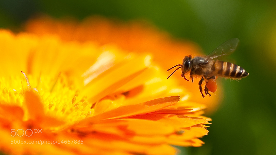 Photograph busy bee by sankar  ghose on 500px