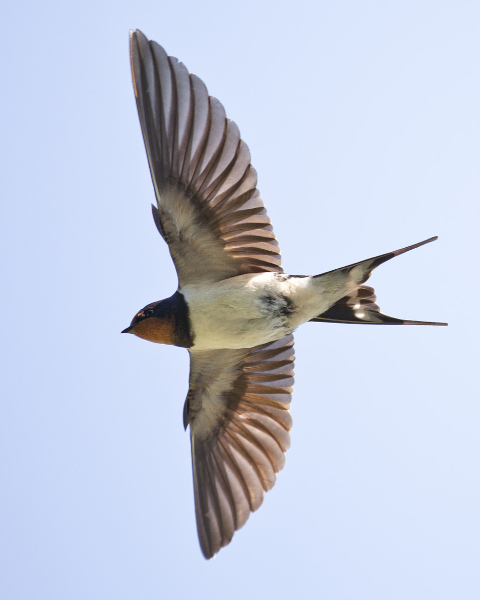 Photograph Swallow in Flight by Marc De Ridder on 500px
