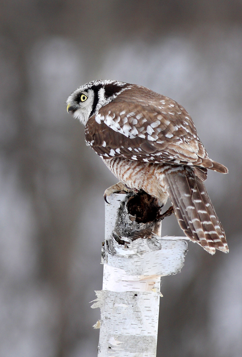 Photograph Northern Hawk owl profile by Jim Cumming on 500px