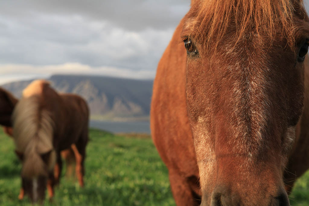 Photograph Icelandic horses are not weird, they are just different by Roman G on 500px