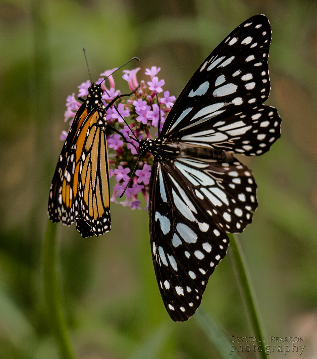 Photograph Butterfly Duet by Crystall Pearson on 500px