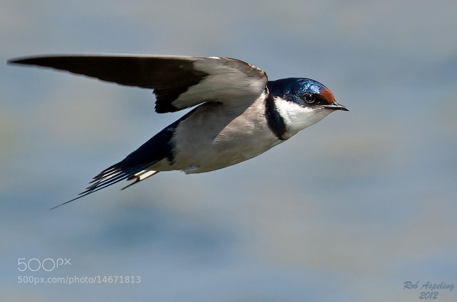 Photograph Swallow in Flight by Robbie Aspeling on 500px