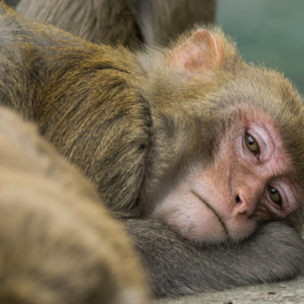 Sleepy Monkey, Sony ILCE-6000, Canon EF 200-400mm f/4L IS USM