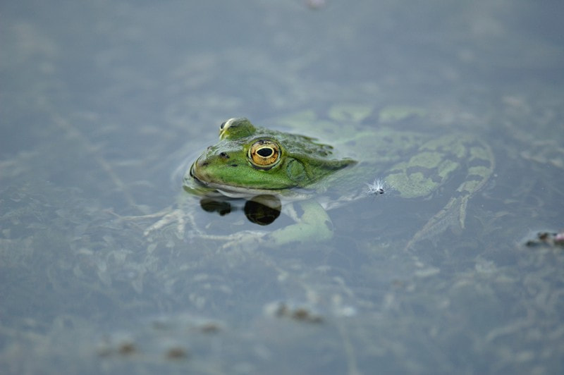 Photograph Grenouille by Chamboeuf Thomas on 500px