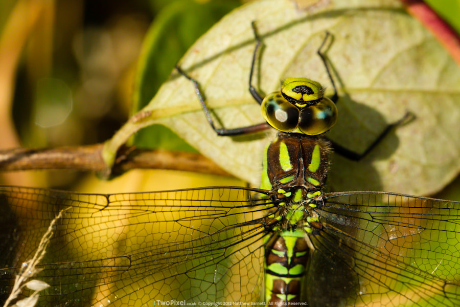 Photograph Female Southern Hawker Dragonfly #1 by Matthew Barnett on 500px