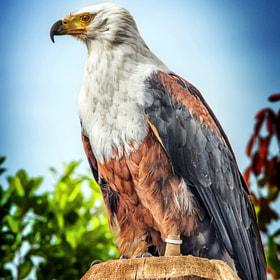 Weißkopfadler / Bald eagle
