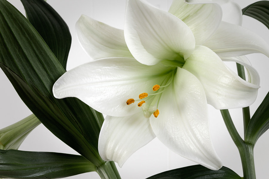 Easter lily by Mike Hilton on 500px.com