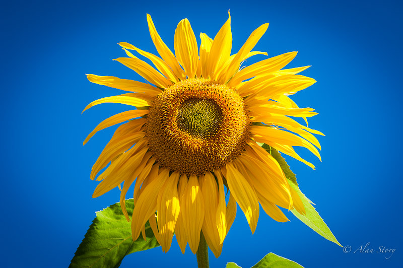 Photograph A sunflower in the sun by Alan Story on 500px