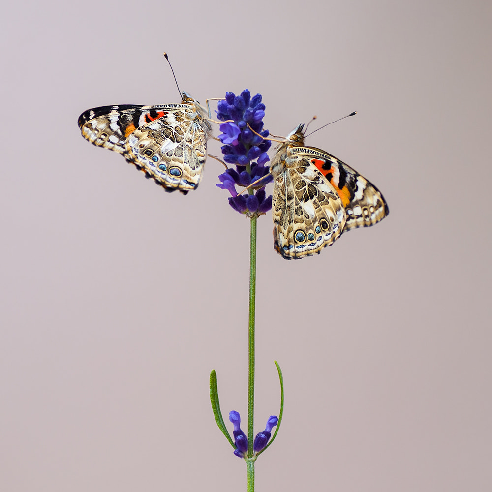 Photograph Painted Ladies by Parrish Colman on 500px