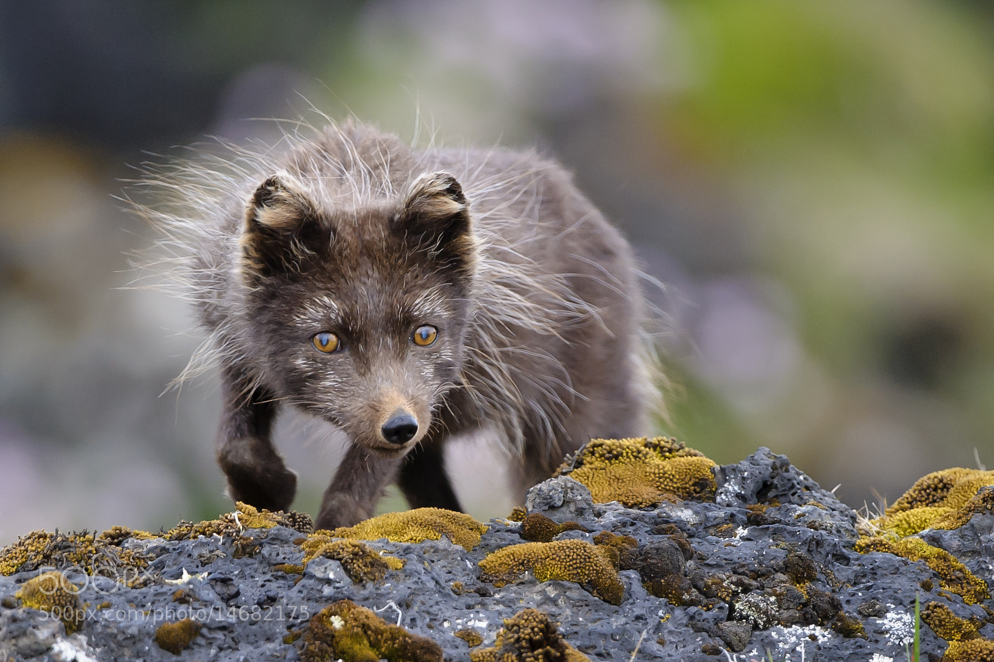 Photograph Arctic Fox (Vulpes lagopus fuliginosus) by Einar Gudmann on 500px