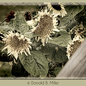 Passing Sunflowers by Donald Miller (DBMiller)) on 500px.com