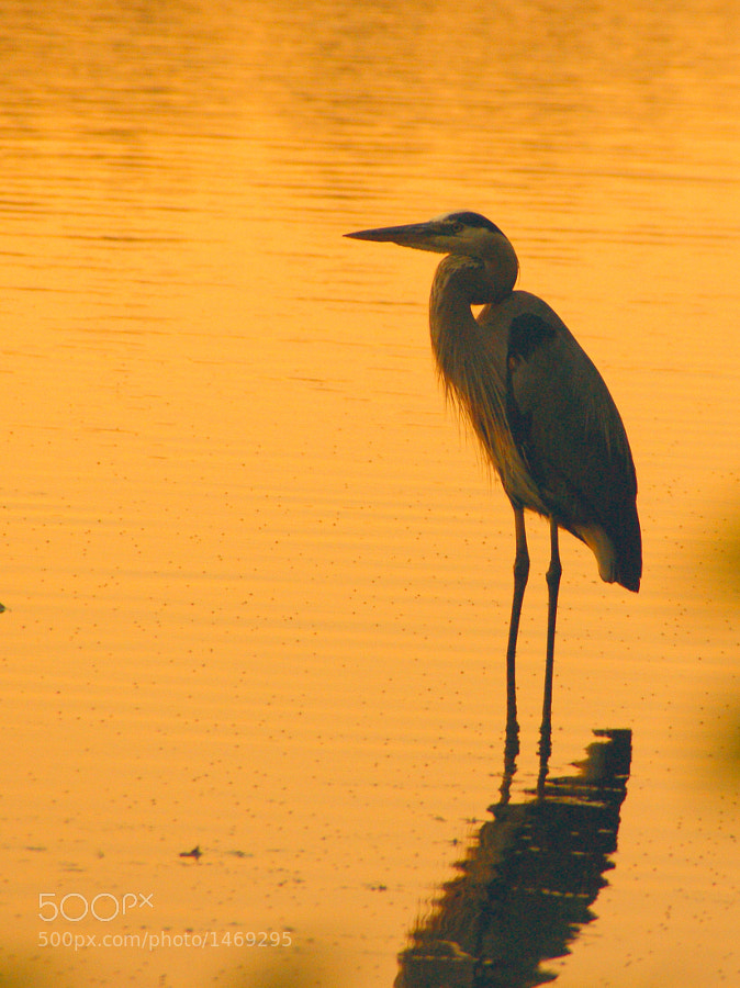 Great Blue Heron in golden water