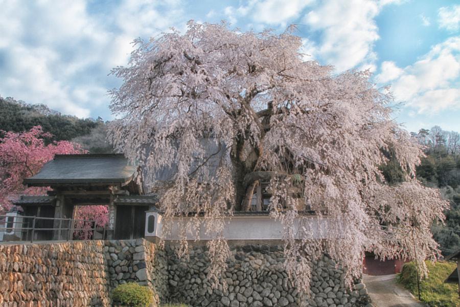 """Shidare"" cherry blossom by Yuma Yamamoto on 500px.com"