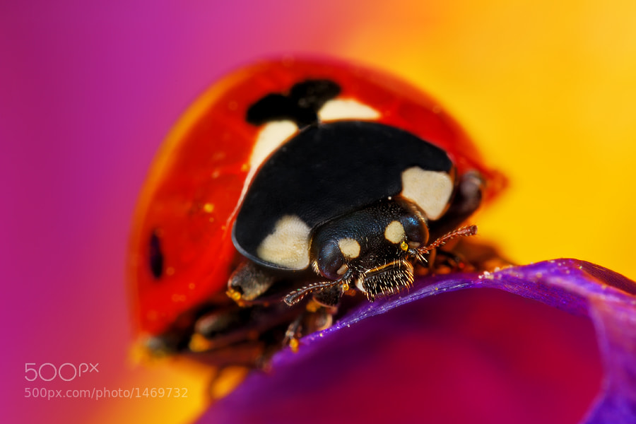 Photograph Ladybug by Boris Godfroid on 500px