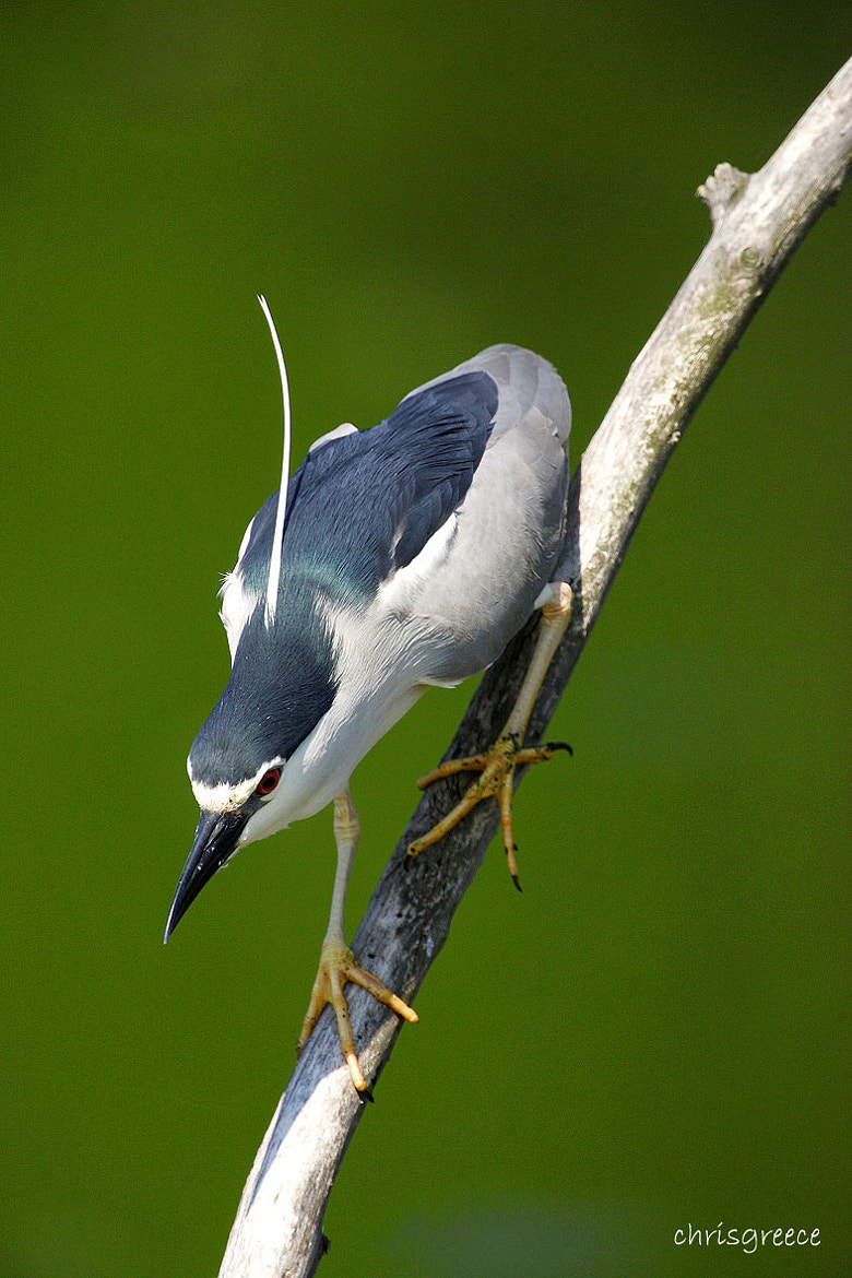 Photograph Nycticorax nycticorax by Chris Vlachos on 500px