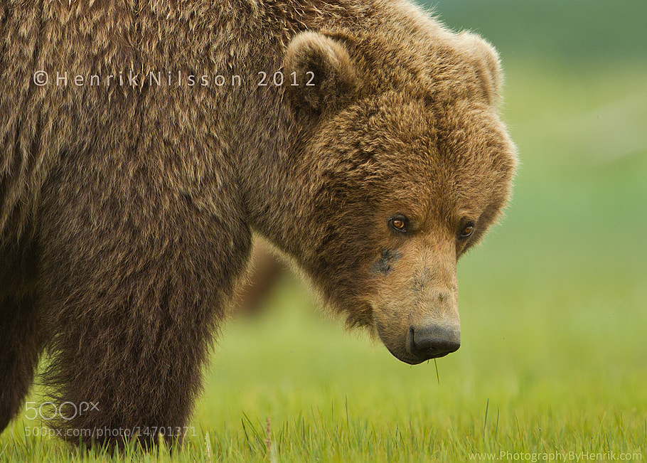Photograph Mr. Furry by Henrik Nilsson on 500px