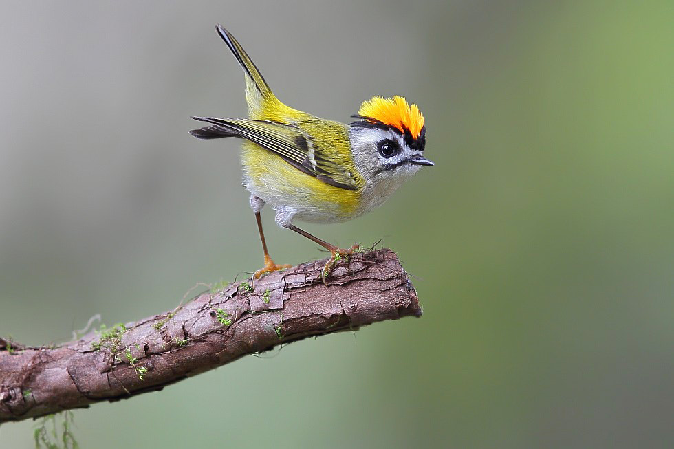 Photograph Formosan Firecrest by Dajan Chiou on 500px