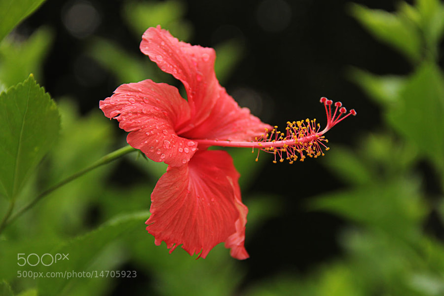 Hibiscus by Manish Shakya (MrShakya)) on 500px.com