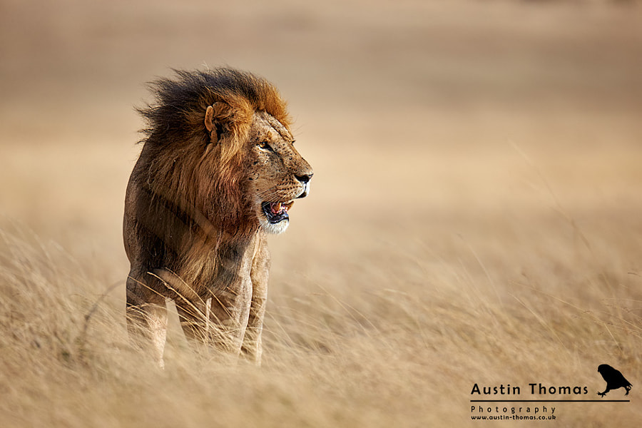 A Male Lion feeling the breeze...