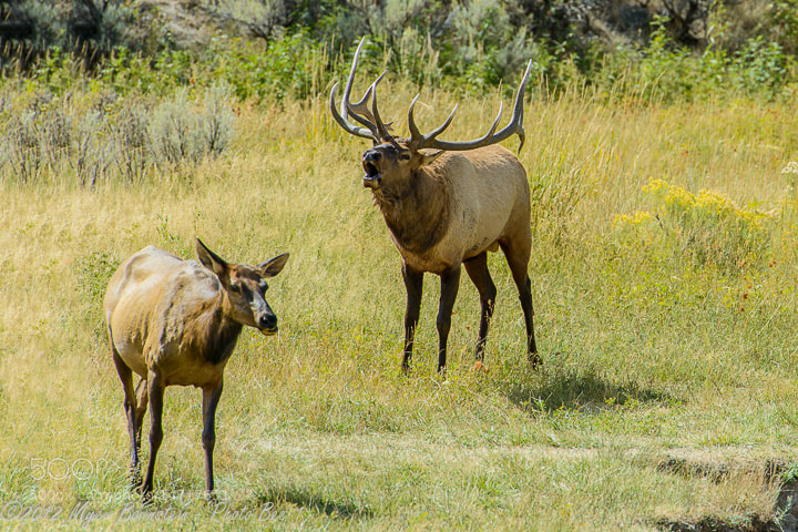 Photograph Elk Bugling by Myer Bornstein on 500px