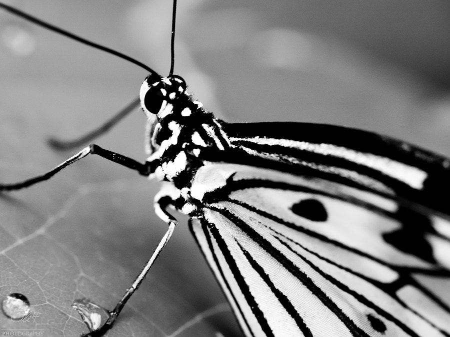 Black & white butterfly #2