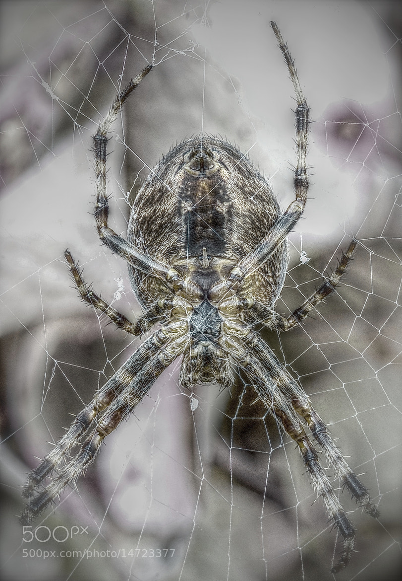 Photograph Garden spider by John Barker on 500px