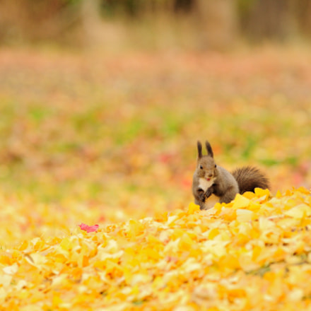 Late autumn of Sciurus, Nikon D3S