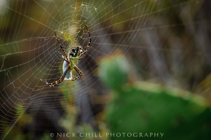 Photograph Garden Spider by Nick Chill on 500px