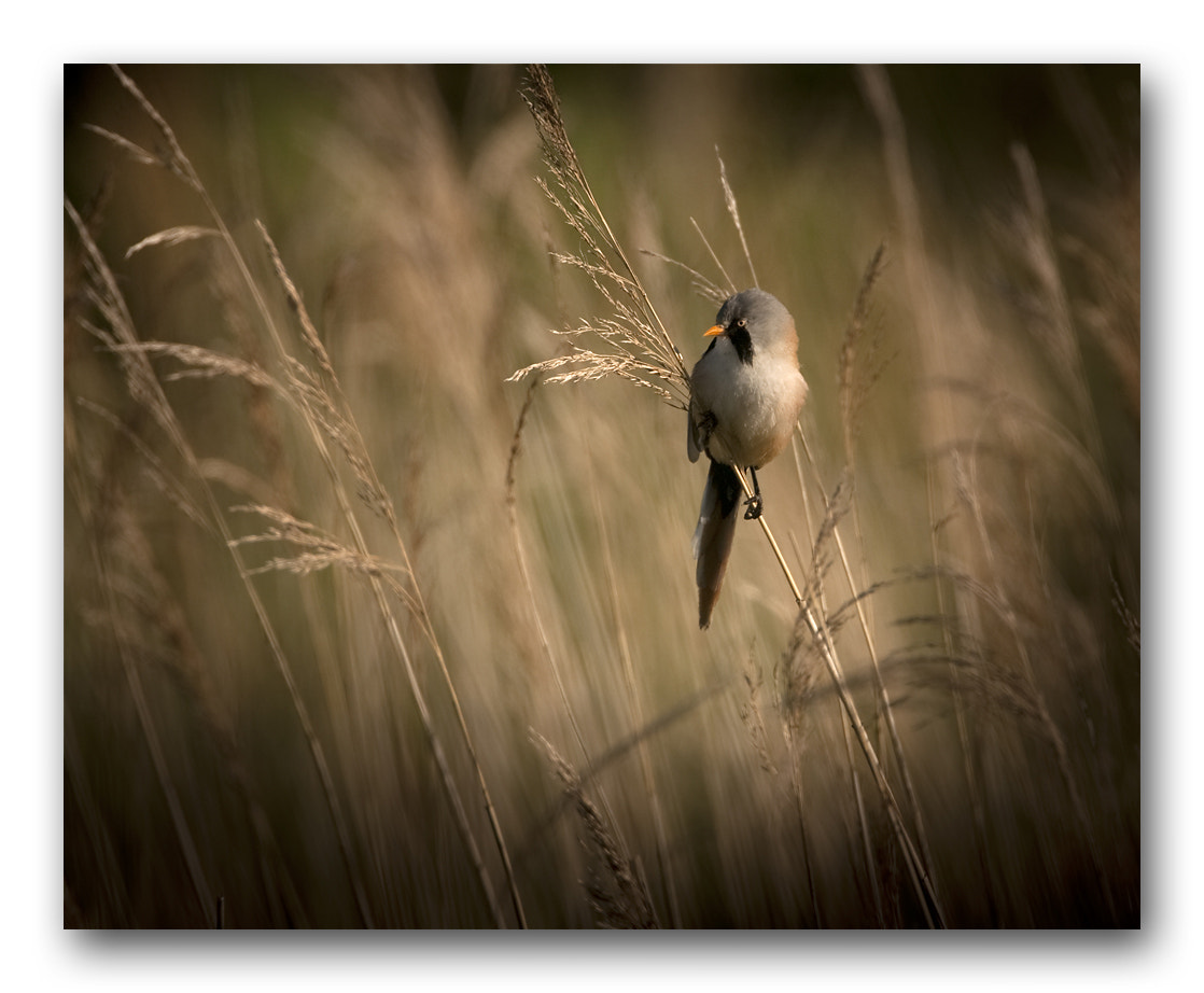 Photograph Bearded tit in reedbed by Keith Burtonwood on 500px