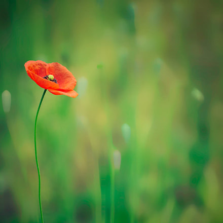A poppy, Sony ILCE-7, Canon EF 70-200mm f/4L IS