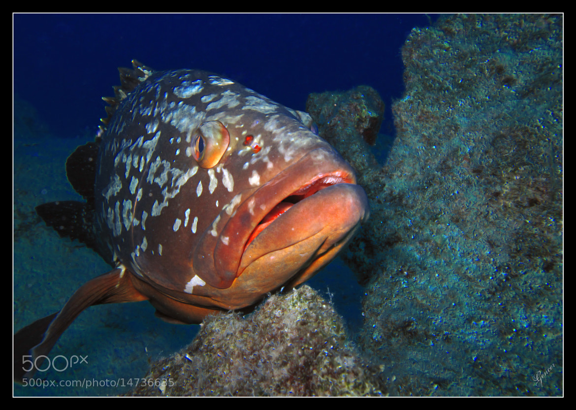 Photograph Orfoz (Epinephelus guaza) by Gencer ÖZDEMİR on 500px