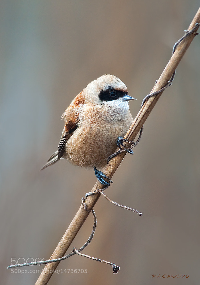 Photograph Pendulin tit by Fabio Giarrizzo on 500px